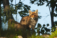 Red fox standing in deep grass, Vosges, France Royalty Free Stock Photo