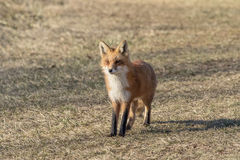 Red Fox standing in the field Royalty Free Stock Photo