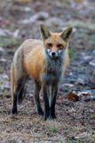 Red Fox Standing. Red fox furry fussy face yellow eyes and large ears at sunrise royalty free stock photography