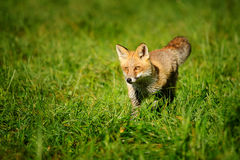 Red fox standing in green grass Royalty Free Stock Photography