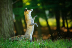 Red fox standing on hind legs in forest Royalty Free Stock Images