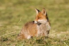 Red fox standing and hunting in a field, Jura, France. Vulpes vulpes, red fox standing and hunting in a field, Jura, France royalty free stock photos