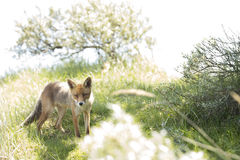 Red fox, standing and looking in camera Stock Image