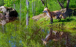 Red Fox standing near clear waters. Royalty Free Stock Photography