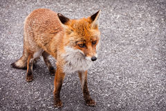 Red Fox Standing on a Road Royalty Free Stock Images