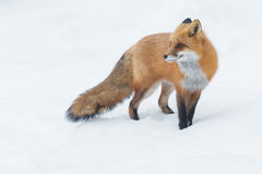 Red Fox. Standing in the snow. Algonquin Provincial Park, Ontario, Canada royalty free stock photo