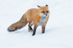 Red Fox. Standing in the snow. Algonquin Provincial Park, Ontario, Canada stock image