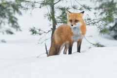 Red Fox. Standing in the snow. Algonquin Provincial Park, Ontario, Canada royalty free stock photography
