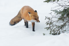 Red Fox. Standing in the snow. Algonquin Provincial Park, Ontario, Canada stock photos