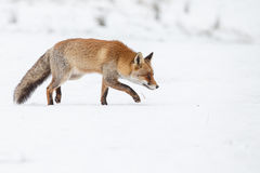 Red fox. Standing in the snow in wintertime Stock Photos
