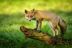 Red fox standing on tree trunk Royalty Free Stock Images
