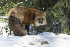 Red fox in winter. Red fox standing under a spruce in winter forest stock images
