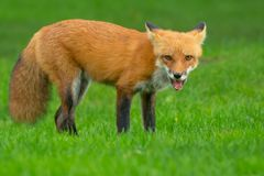 Red Fox. Standing watch on a manicured lawn. Rosetta McClain Gardens, Toronto, Ontario, Canada royalty free stock photo