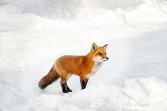 Red Fox. Standing in white snow Stock Image