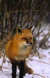 Red Fox Standing in Willows Royalty Free Stock Photo
