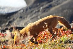 Red fox stands on the slope of hill royalty free stock images