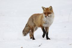 Red fox. Stands on snow Stock Image