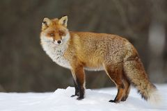 Red Fox. Stands on snow Stock Photo