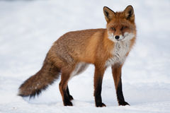 Red fox Royalty Free Stock Photos