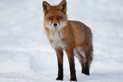 Red fox. Stands in snow covered filed Royalty Free Stock Images