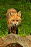 Red Fox staring at the camera. Royalty Free Stock Photos