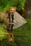 Red Fox staring at the camera. Stock Photos
