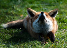Red Fox stretching in the sun Royalty Free Stock Photos