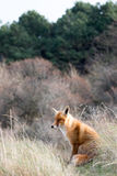 Red Fox. Red fox stting in grass Royalty Free Stock Photography