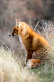 Red Fox. Red fox stting in grass Stock Photos