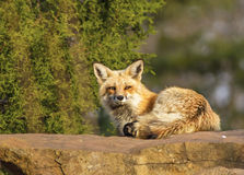 Red Fox. Stting on the rock Royalty Free Stock Photography