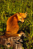 Red Fox on Stump Royalty Free Stock Photos
