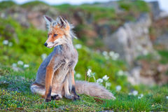 Red fox, sunrise, Babia Gora, Poland Stock Images