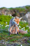 Red fox, sunrise, Poland Stock Photography