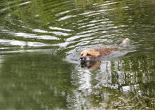 Red Fox Swimming. In lake with green reflected water Stock Photo