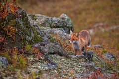 Red fox in taiga Stock Image