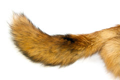 Red Fox tail. On white background Stock Photography