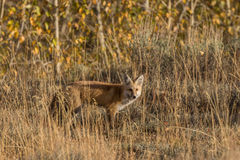 Red Fox in tall Grass Stock Photography