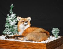 Red fox taxidermy mount. A red fox from Ontario Canada mounted by taxidermist Royalty Free Stock Photos
