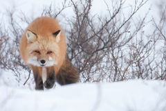 Red fox2 Stock Photo