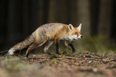 Red Fox. Tracing in forest Royalty Free Stock Images