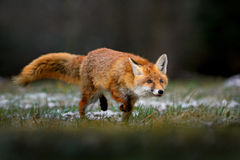 Red Fox. Tracing in the snowy field Stock Photos