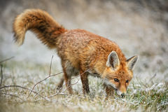 Red Fox. Tracing in the snowy field Royalty Free Stock Image
