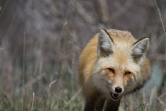 Red fox trotting approaching Royalty Free Stock Photography