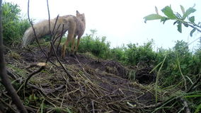 Red fox stock video