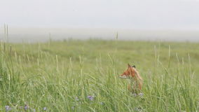Red fox stock video footage