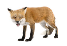 Red fox turned off by something (4 years)- Vulpes. Red fox (4 years) - Vulpes vulpes in front of a white background royalty free stock photos