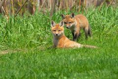 Red Fox. Two Red Fox kits playing in the grass. South Shore Park, Barrie, Ontario, Canada stock images