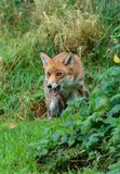 The red fox in the undergrowth stock image