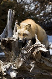 Red Fox VI Stock Photos