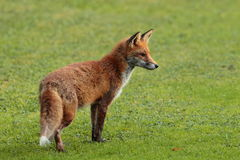 Red fox. Royalty Free Stock Image